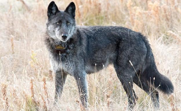 Mata cazador a la famosa loba de Yellowstone