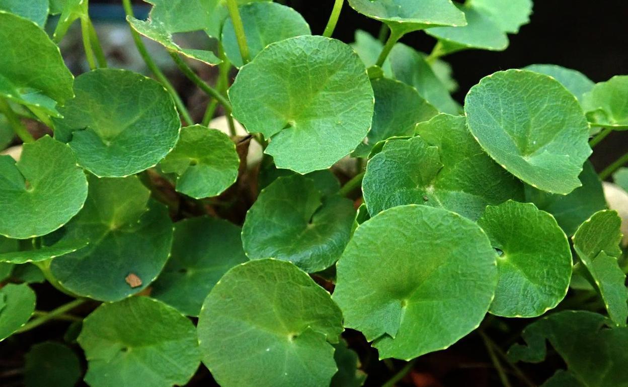 Propiedades Y Beneficios De Solfa Syllable Centella Asiática Cual Es La Planta Centella Asiatica
